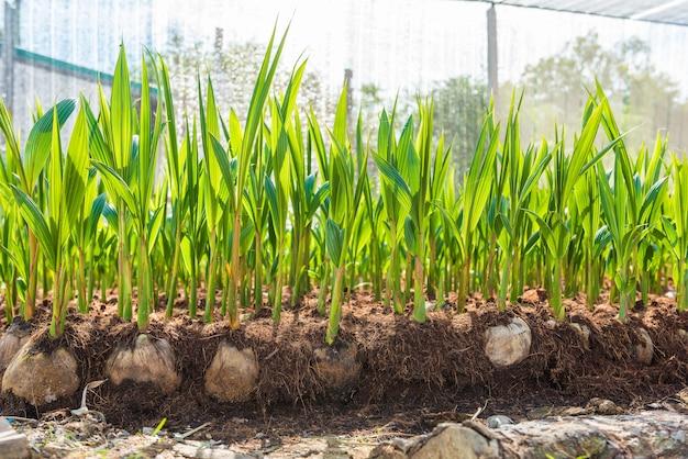 Jonge kokosnoot kleine bomen. preparaten voor dergelijke variëteiten voor het planten van kokospalmen Premium Foto