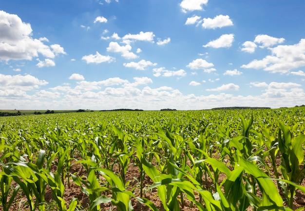 Jonge maïsplanten gefotografeerd close-up onder de hemel met wolken Premium Foto