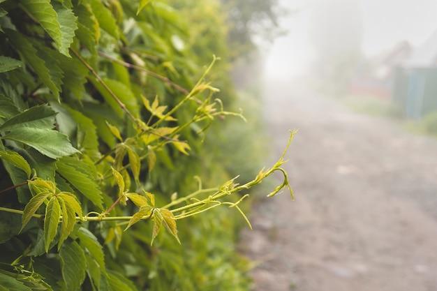 Jonge scheuten van wilde druiven op een mistige zomerochtend. Premium Foto