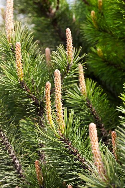 Jonge spruiten onder de schil van dennen die in de lente begonnen te groeien, close-up in een park of bos Premium Foto