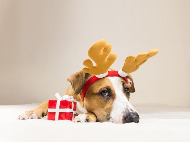 Jonge staffordshire terriër hond in kerst rendieren hoorns hoed met schattige kleine rode aanwezig. grappige pitbull puppy poses Premium Foto