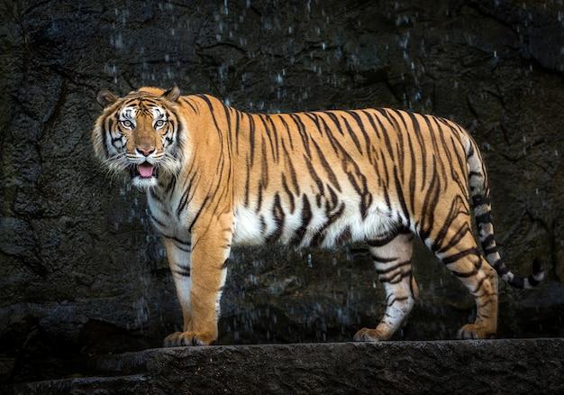 Jonge sumatraanse tijger die zich in het midden van aard bevindt. Premium Foto