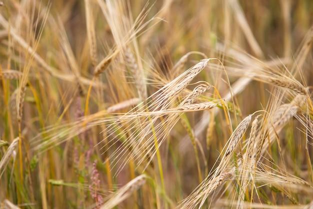 Jonge tarwe groeit op het veld. Premium Foto