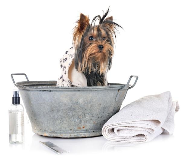 Jonge yorkshire terrier en bad Premium Foto