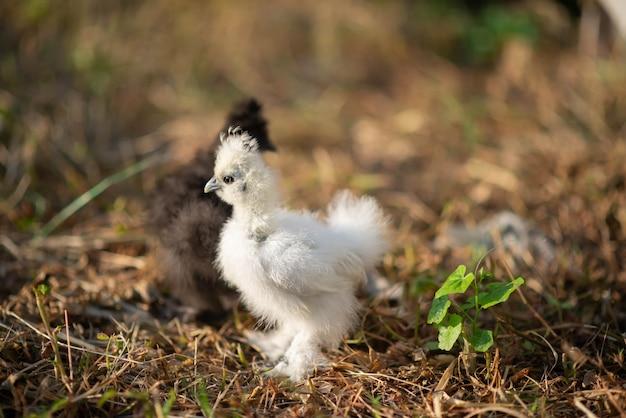 Jonge zwart-witte kip zijdeachtig in de tuin Premium Foto