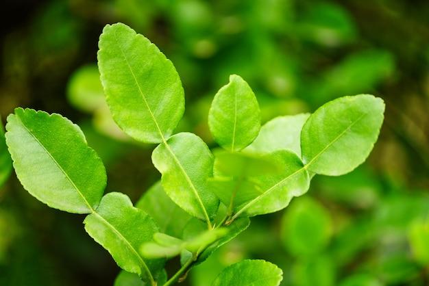Kaffirkalkbladeren op het blad van boombergamot Premium Foto