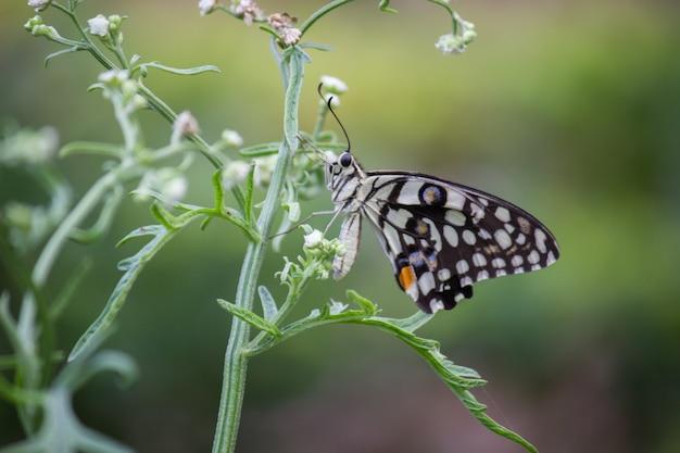 Kalkvlinder op de bloeminstallatie Premium Foto