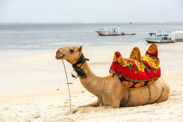 Kameel die op het zand ligt tegen de achtergrond van de oceaan en boten Gratis Foto