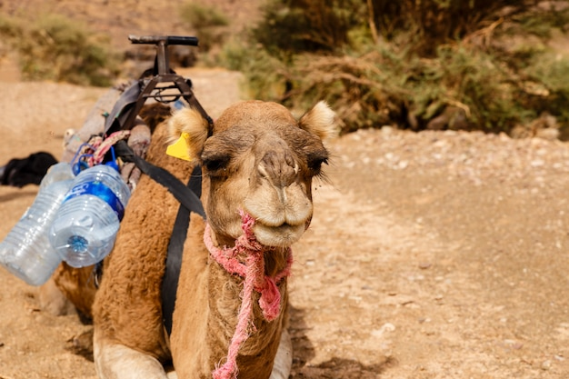 Kameel in de sahara woestijn, marokko Premium Foto