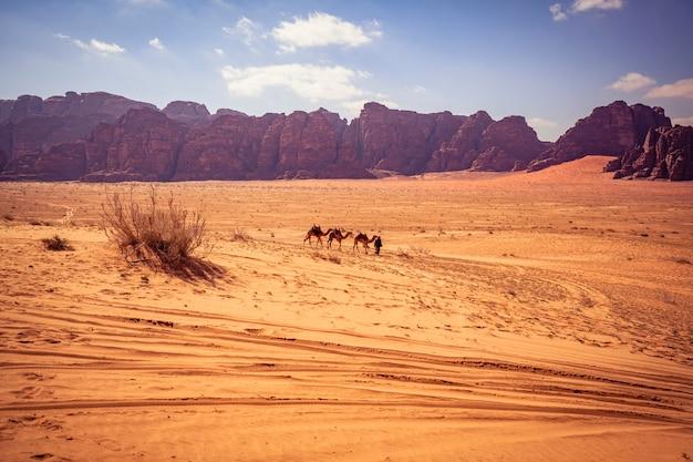 Kameel in wadi rum Premium Foto