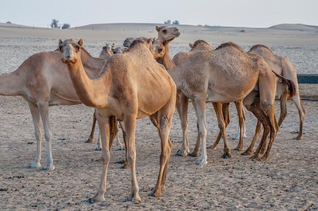 Kameelaantrekkelijkheid voor toeristen in woestijn in de vae Premium Foto