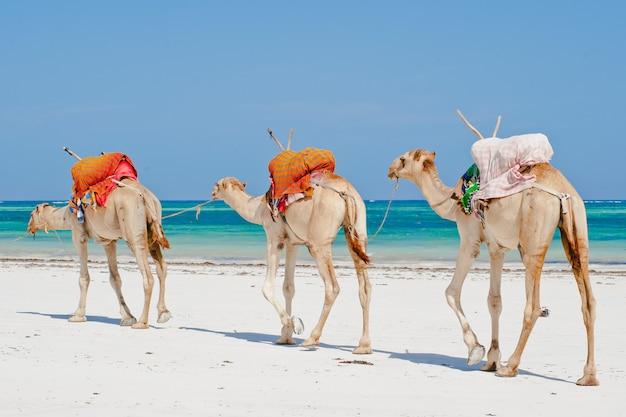 Kamelen aan de oceaan Premium Foto