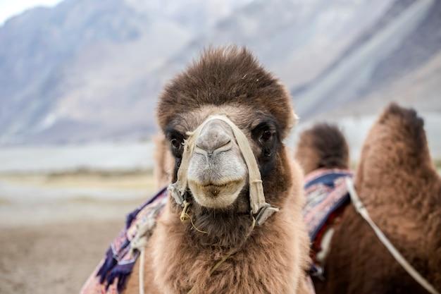 Kamelen in de nubra-vallei in de hunder-zandduinen, de deelstaat jammu en kasjmir, regio ladakh, in het noorden van india Premium Foto
