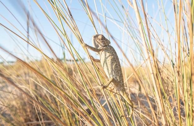 Kameleon dat takken op een strandgebied beklimt Premium Foto