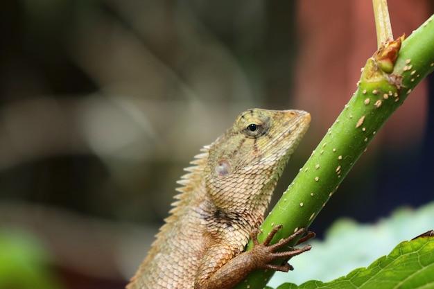 Kameleon Premium Foto