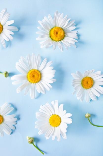 Kamillebloemen op de blauwe achtergrond. bovenaanzicht. lente of zomer achtergrond concept. Premium Foto