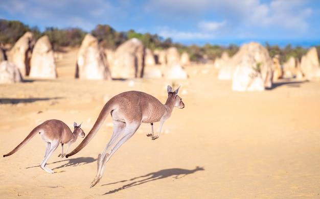 Kanggaroo familiesprong in pinnacles-rotspark in de woestijn van nambung Premium Foto