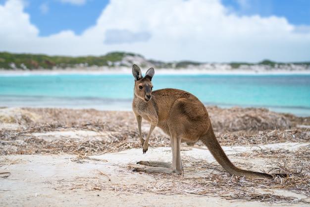 Kangoeroe in lucky bay in het cape le grand national park Premium Foto