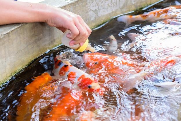 Karpers vissen door melkfles in karperboerderij | Premium Foto