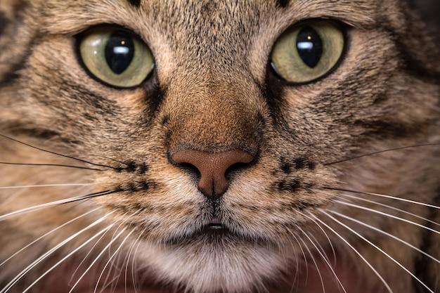 Kat gezicht close-up. macro-opname van de neus van een bruine kat. Premium Foto
