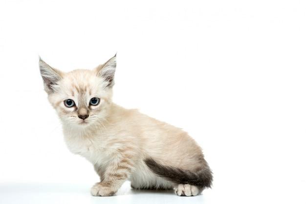 Kat in wit geïsoleerd Premium Foto
