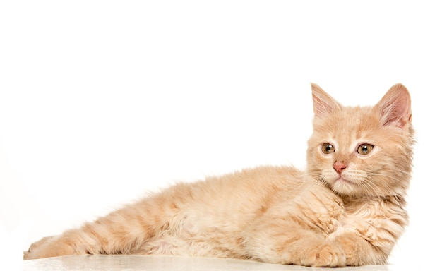 Kat op witte achtergrond Gratis Foto