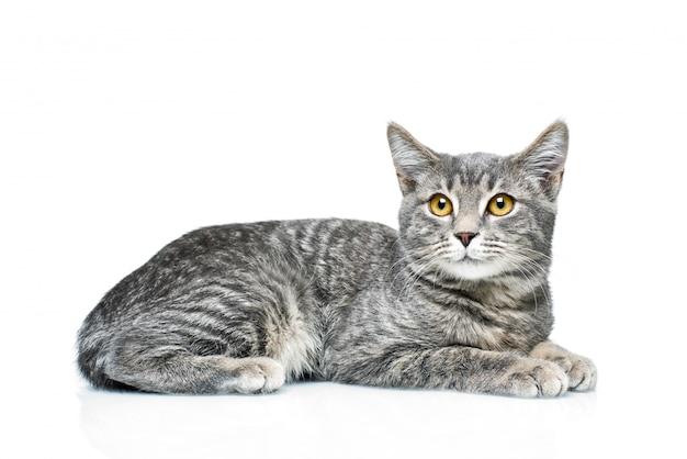 Katje op een geïsoleerd wit Premium Foto