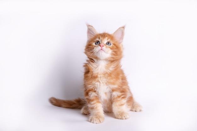 Katje op wit wordt geïsoleerd dat Premium Foto