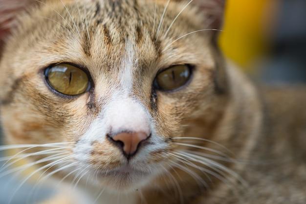 Kattengezicht en kijk naar de camera. Premium Foto