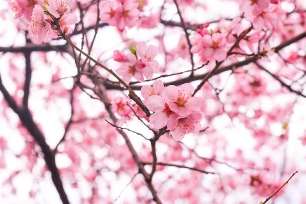 Kersenbloesem bloem Gratis Foto