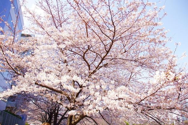Kersenbloesems in japan in april Gratis Foto