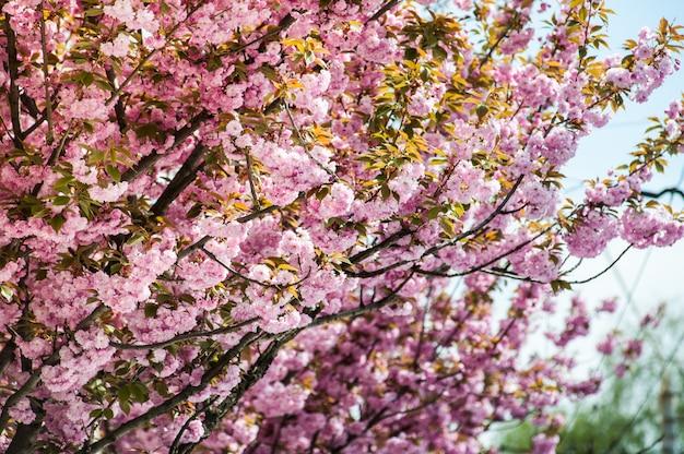 Kersenbloesems op een boom Premium Foto