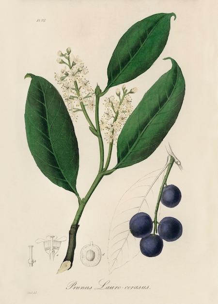 Kersenlaurier (prunus laurocerasus) illustratie van medical botany (1836) Gratis Foto