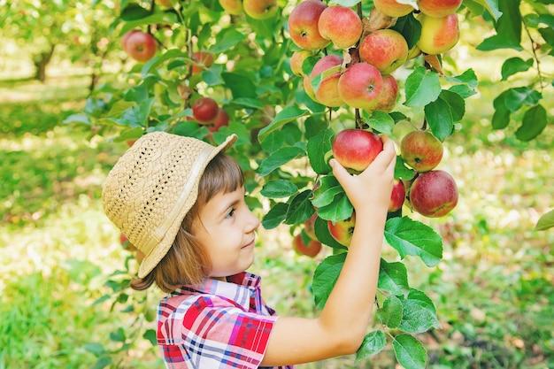 Kind plukt appels in de tuin in de tuin Premium Foto