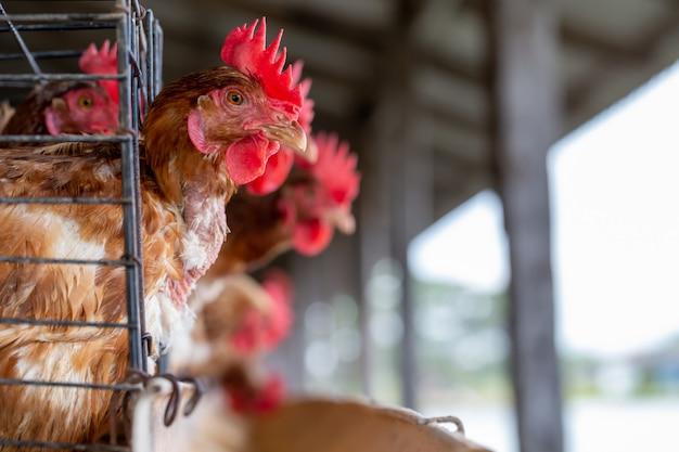 Kip in de fabriek industriële boerderij Premium Foto