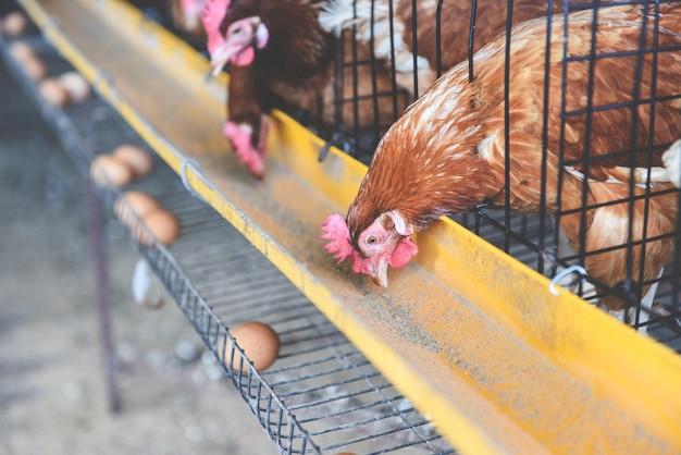 Kip in kooiteelt op kippenlandbouwproduct en vers ei Premium Foto