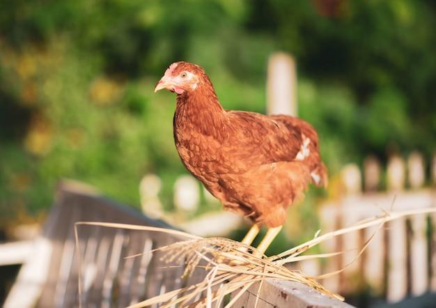 Kippenkuiken die in de tuin lopen Premium Foto