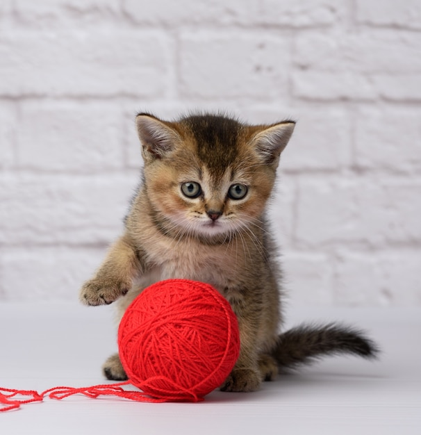 Kitten schotse gouden chinchilla recht ras Premium Foto