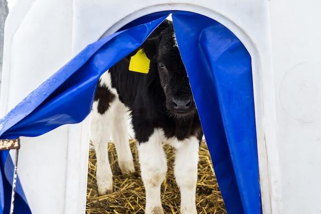 Klein kalf op een melkveebedrijf Premium Foto