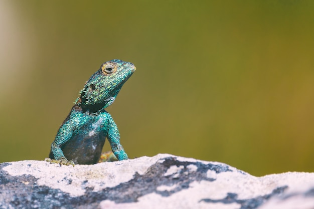 Kleine agama hagedis op een rots in kaapstad, zuid-afrika Premium Foto