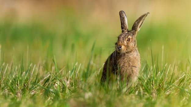 Kleine bruine haas zittend op grasland in de lente aard Premium Foto
