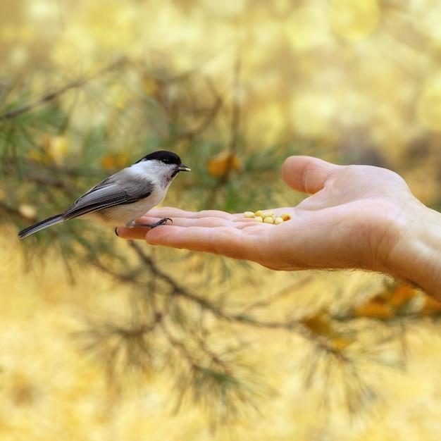 Kleine dappere mees zit op de arm van de mens. man voedt bosvogel. Premium Foto