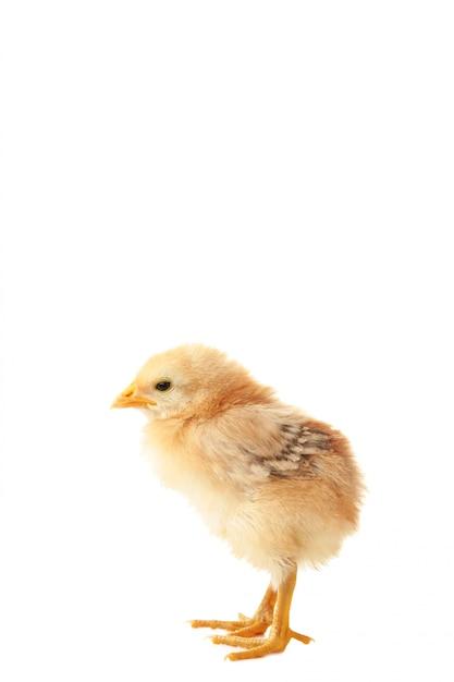 Kleine gele kip geïsoleerd op de witte achtergrond Premium Foto