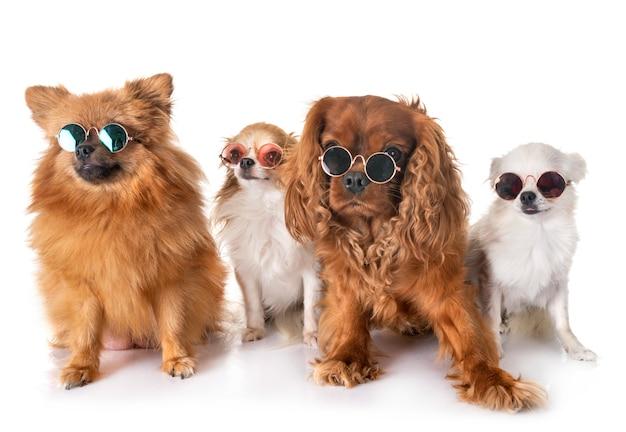 Kleine honden in de studio Premium Foto
