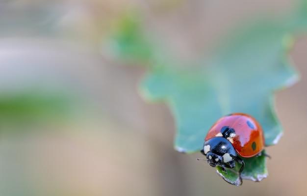 Kleine insecten in macrofotografie. coccinellidae, lieveheersbeestje Premium Foto
