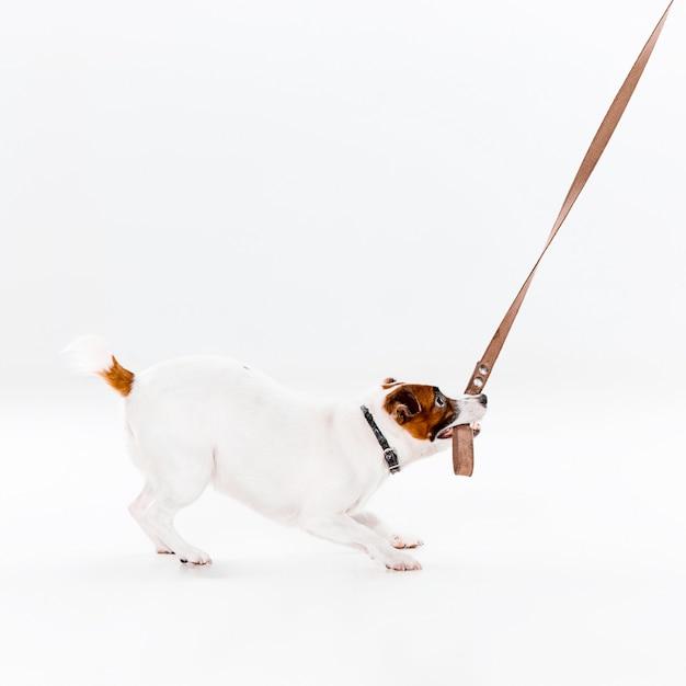 Kleine jack russell terrier op wit Gratis Foto