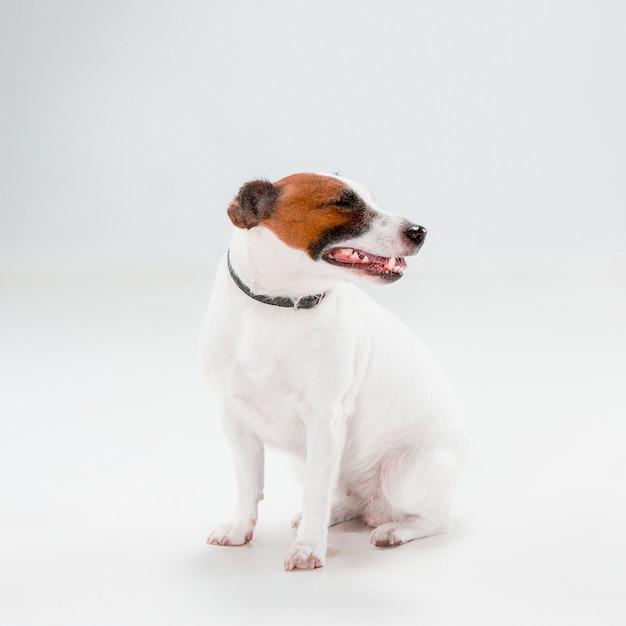 Kleine jack russell terrier-zitting op wit Gratis Foto