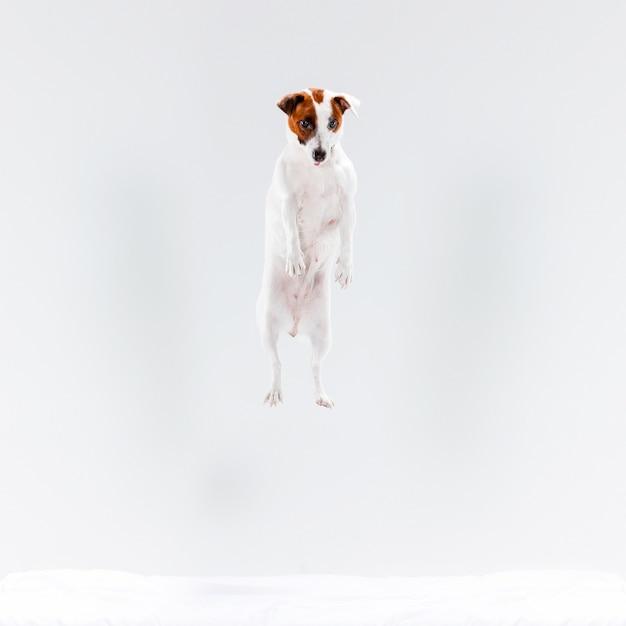 Kleine jack russell terrier Gratis Foto
