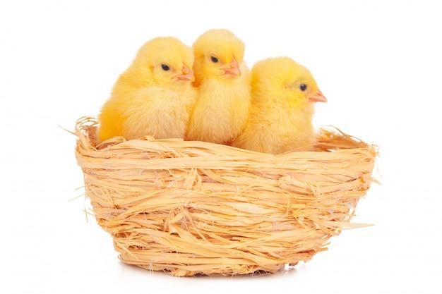 Kleine kuiken en eieren in nest, geïsoleerd op de witte Premium Foto