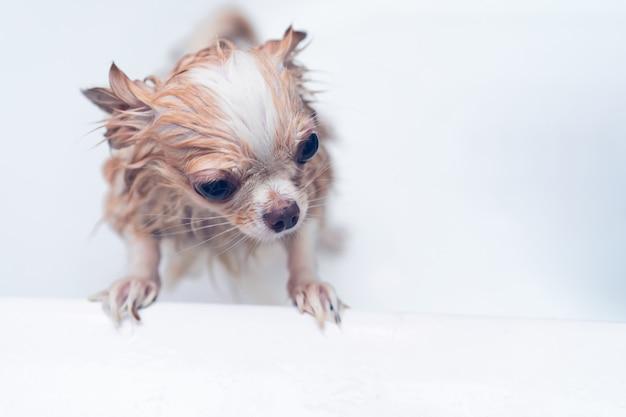 Kleine leuke bruine chihuahuahond die op eigenaar in de ton na het nemen van een bad in badkuip wachten Premium Foto